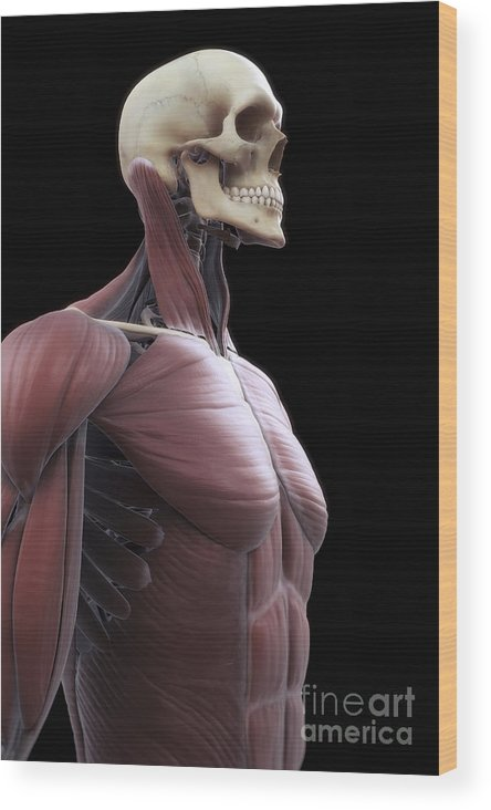Abdominal Wood Print featuring the photograph Muscles Of The Upper Body by Science Picture Co