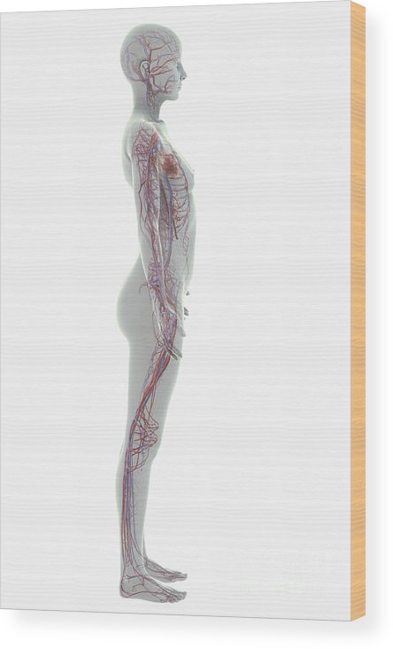 Arteries Wood Print featuring the photograph The Cardiovascular System Female by Science Picture Co