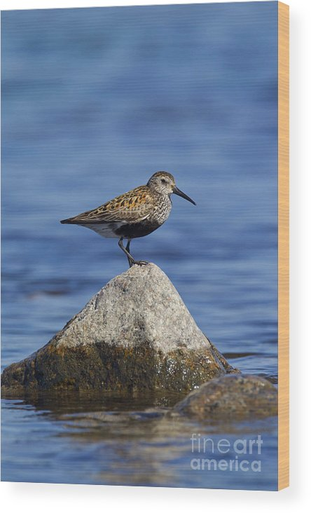 Calidris Alpina Wood Print featuring the photograph 121213p019 by Arterra Picture Library