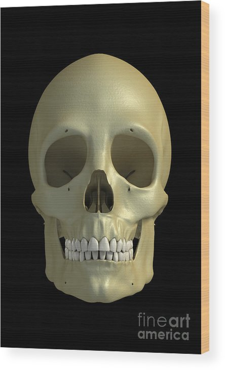 Facial Anatomy Wood Print featuring the photograph The Skull by Science Picture Co