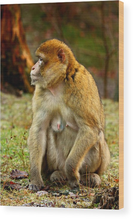 Monkey Wood Print featuring the photograph Monkey by Heike Hultsch