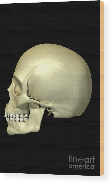 Biomedical Illustration Wood Print featuring the photograph The Skull by Science Picture Co