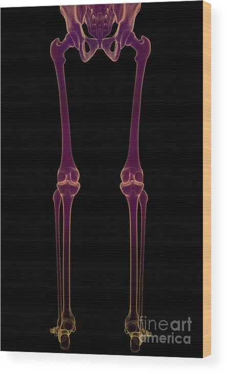 Bone Wood Print featuring the photograph The Skeleton by Science Picture Co