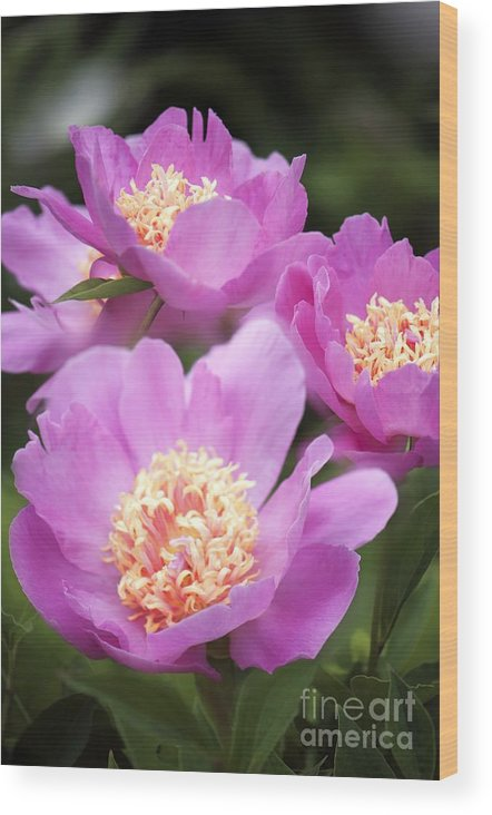 Peony Wood Print featuring the photograph Paeonia Lactiflora 'bowl Of Beauty' by Maria Mosolova