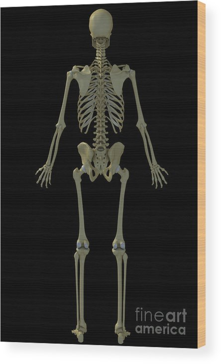 Tibia Wood Print featuring the photograph The Skeleton by Science Picture Co
