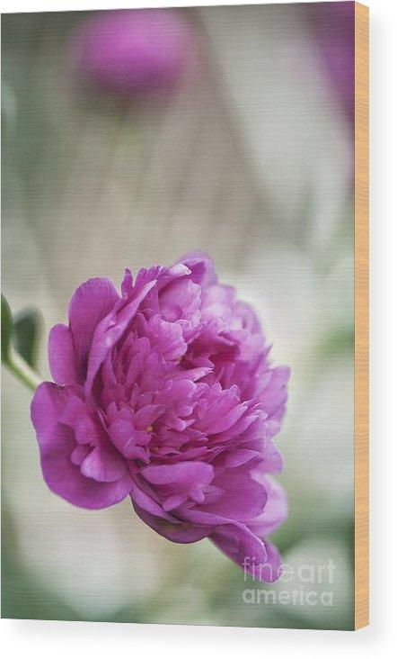 Peony Wood Print featuring the photograph Peony (paeonia Lactiflora) by Maria Mosolova
