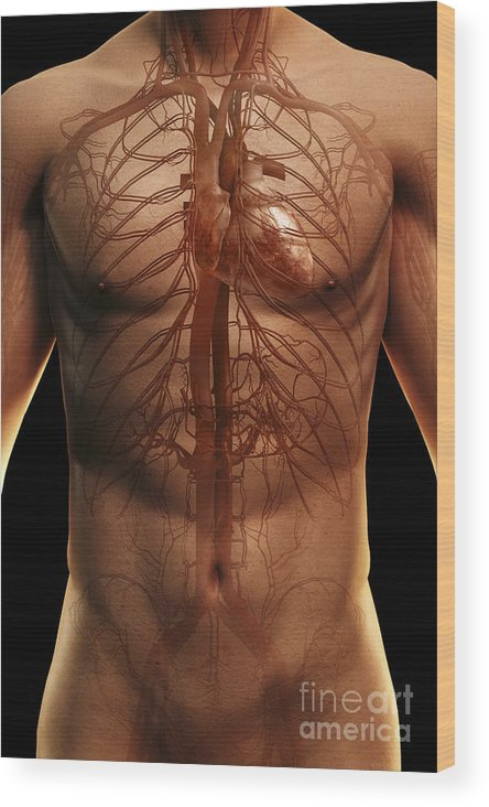 Upper Body Wood Print featuring the photograph The Cardiovascular System by Science Picture Co