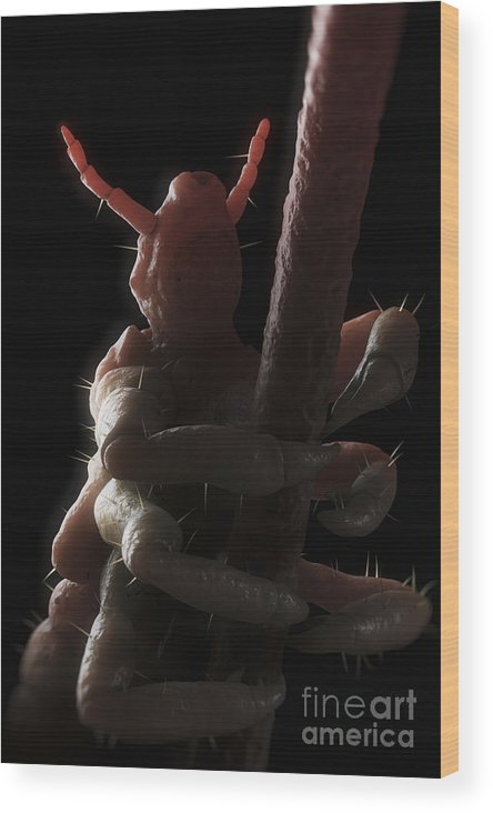 Digitally Generated Image Wood Print featuring the photograph Head Louse by Science Picture Co