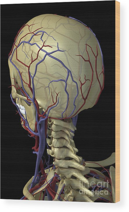 Blood Vessels Wood Print featuring the photograph The Cardiovascular System by Science Picture Co