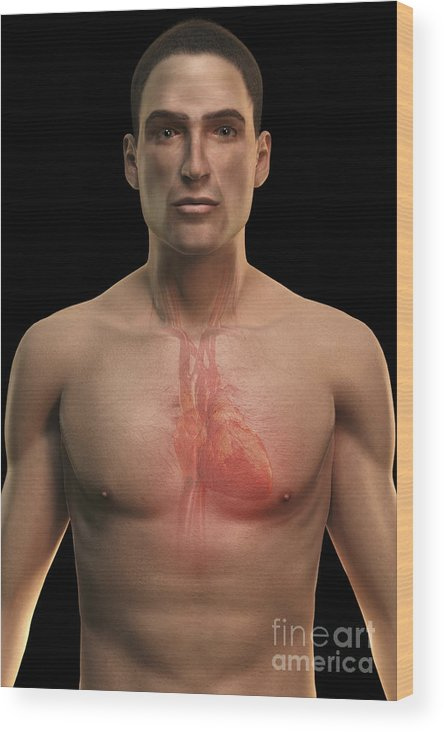 Biomedical Illustration Wood Print featuring the photograph The Cardiovascular System by Science Picture Co