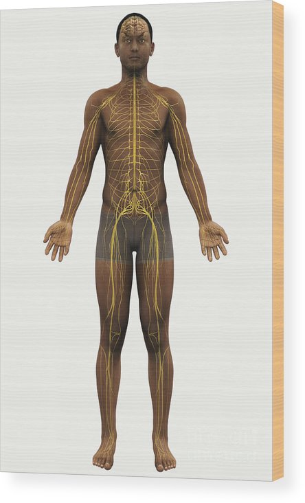 Transparent Wood Print featuring the photograph The Nerves Of The Body by Science Picture Co