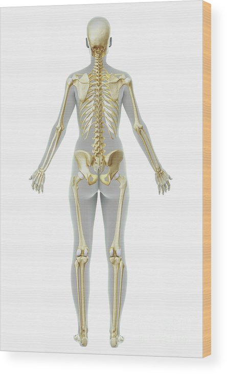 Transparent Wood Print featuring the photograph The Skeleton Female by Science Picture Co