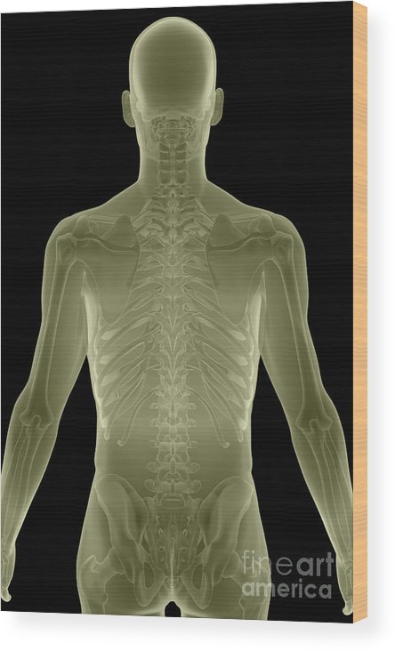 Thoracic Vertebrae Wood Print featuring the photograph Bones Of The Upper Body by Science Picture Co