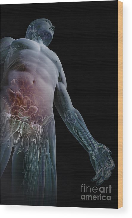 Biomedical Illustration Wood Print featuring the photograph Human Anatomy by Science Picture Co
