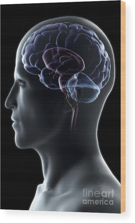 Brain Hemisphere Wood Print featuring the photograph Human Brain by Science Picture Co