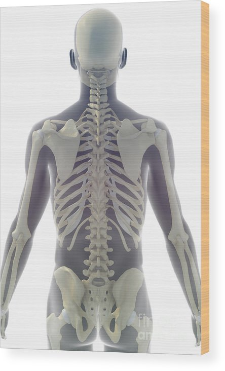 Transparent Wood Print featuring the photograph Bones Of The Upper Body by Science Picture Co