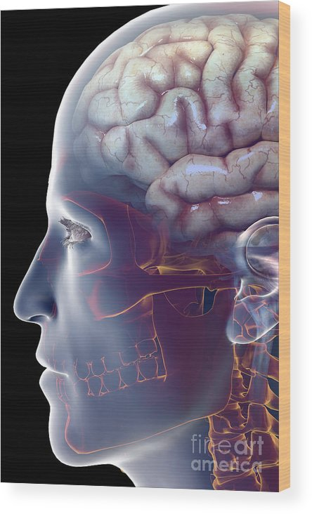 Central Sulcus Wood Print featuring the photograph Human Brain by Science Picture Co