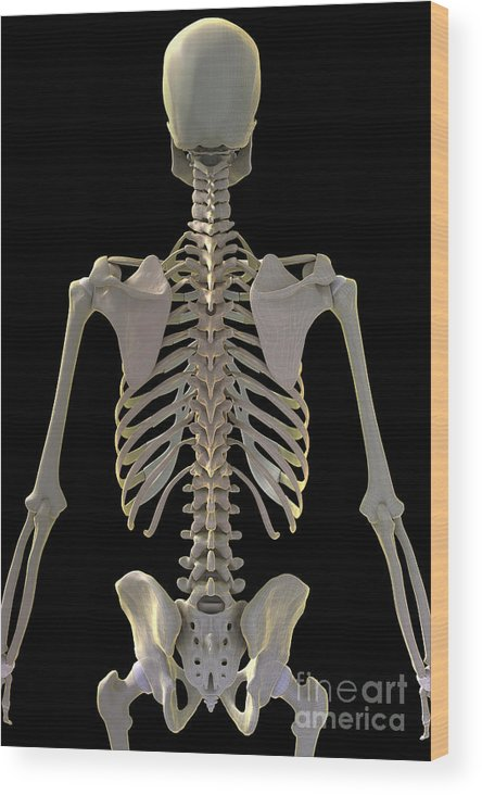 Lumbar Vertebrae Wood Print featuring the photograph Bones Of The Upper Body by Science Picture Co
