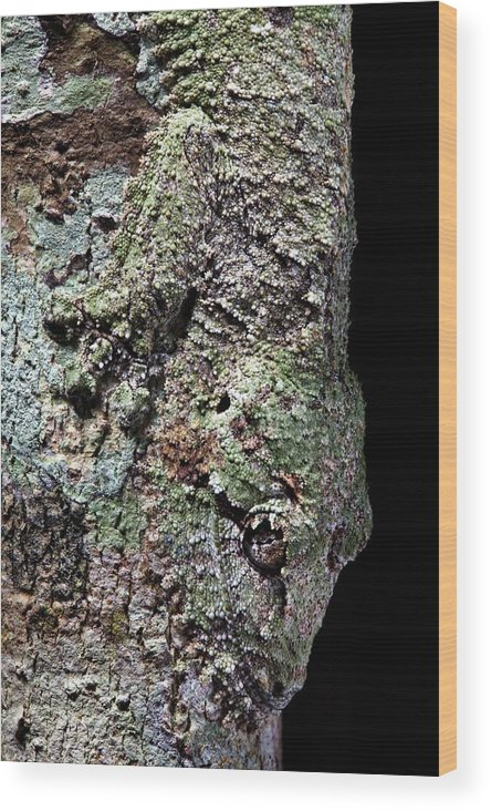 Uroplatus Sikorae Wood Print featuring the photograph Leaf-tailed Gecko by Alex Hyde