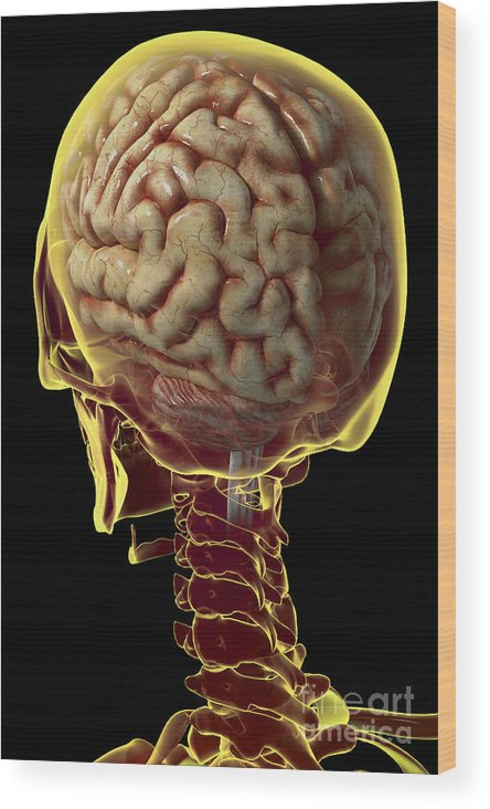 Occipital Bone Wood Print featuring the photograph Human Brain by Science Picture Co