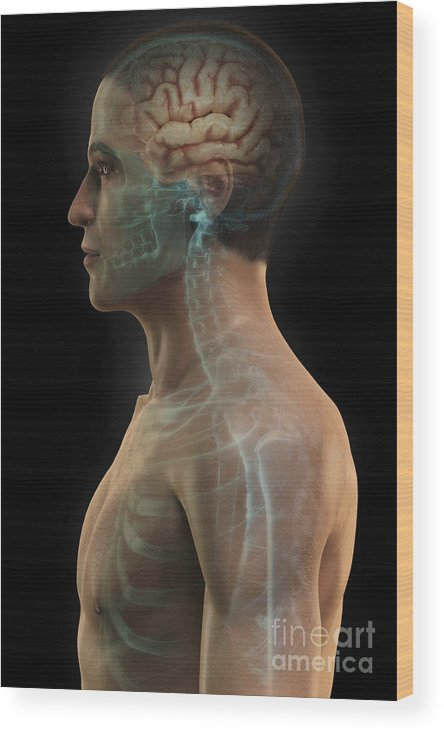 Skeletal System Wood Print featuring the photograph Human Brain by Science Picture Co