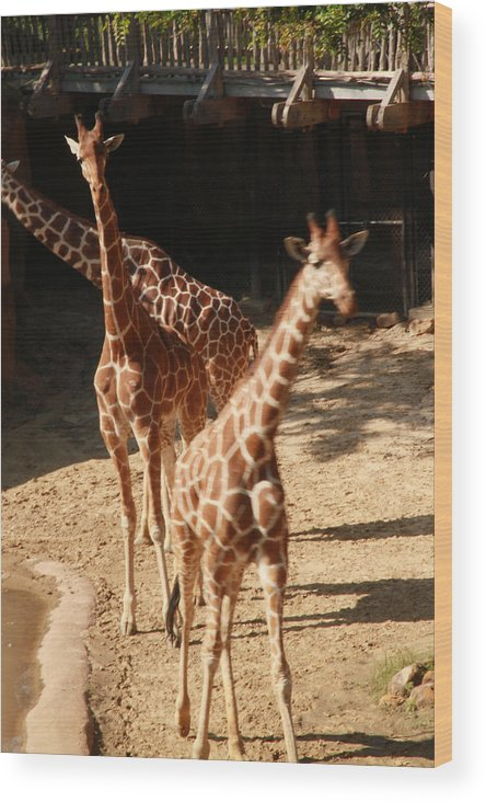 Nature Wood Print featuring the photograph Giraff by Tinjoe Mbugus