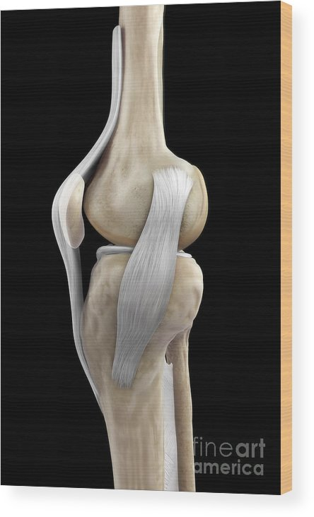 3d Model Wood Print featuring the photograph Right Knee Ligaments by Science Picture Co