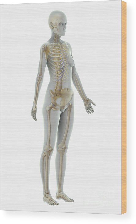Human Body Wood Print featuring the photograph The Skeleton Female by Science Picture Co