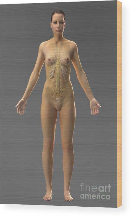 Ribcage Wood Print featuring the photograph Urinary System Female by Science Picture Co