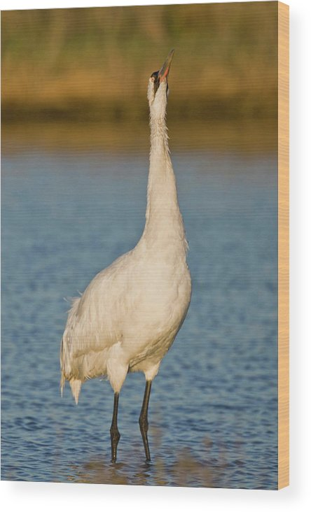 Adult Wood Print featuring the photograph Whooping Crane (grus Americana by Larry Ditto