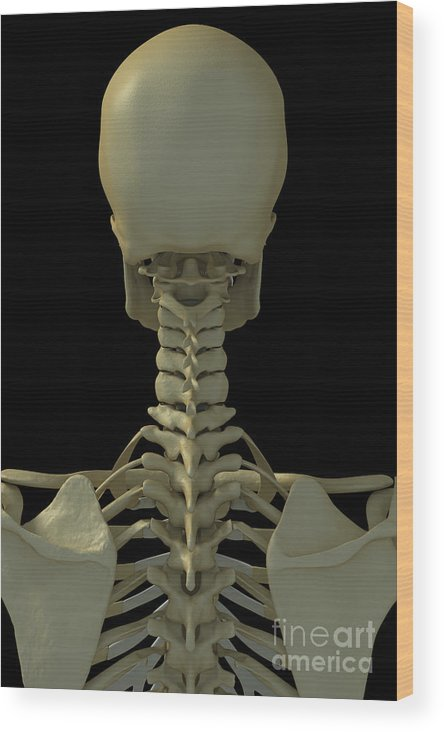 Thoracic Vertebrae Wood Print featuring the photograph Bones Of The Head And Neck by Science Picture Co