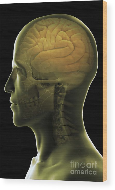 Cerebral Cortex Wood Print featuring the photograph The Human Brain by Science Picture Co