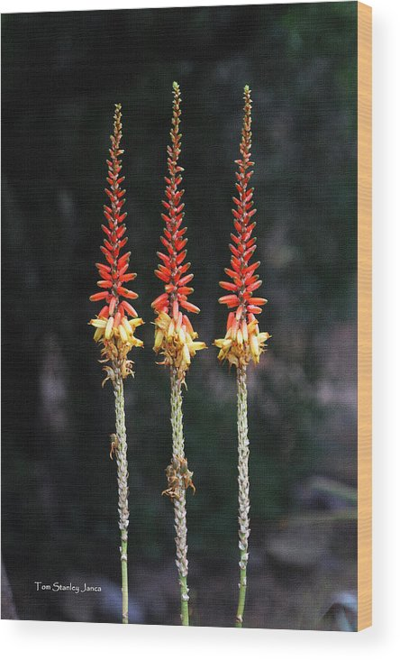 Aloe Vera Blooms X Three Wood Print featuring the photograph Aloe Vera Blooms X Three by Tom Janca