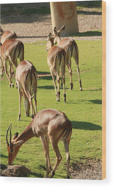 Nature Wood Print featuring the photograph Antelopes by Tinjoe Mbugus