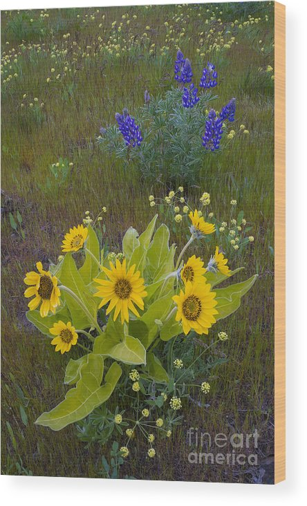 Nature Wood Print featuring the photograph Arrowleaf Balsamroot And Lupine by John Shaw