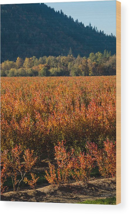 Blueberry Wood Print featuring the photograph Autumn Blueberry Field by Mick Anderson
