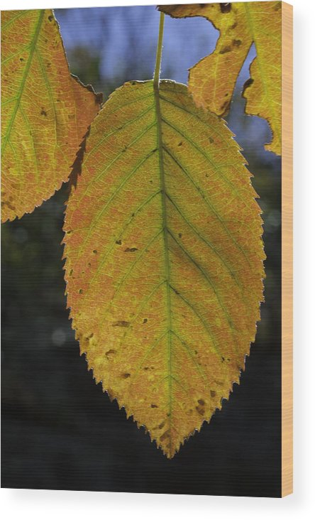 Orange Wood Print featuring the photograph Autumn Leaf by David Freuthal