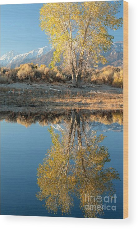 Aspen Wood Print featuring the photograph Autumn Mirrored by Frank Townsley