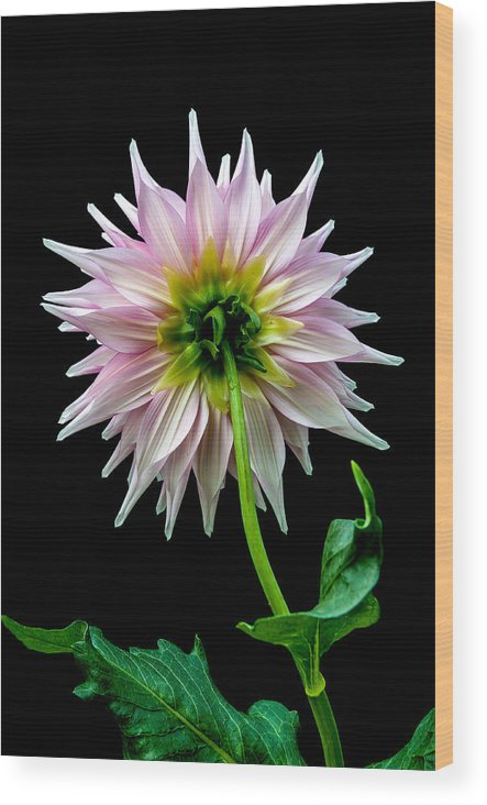 Dahlia Wood Print featuring the photograph Backside by Paul Johnson