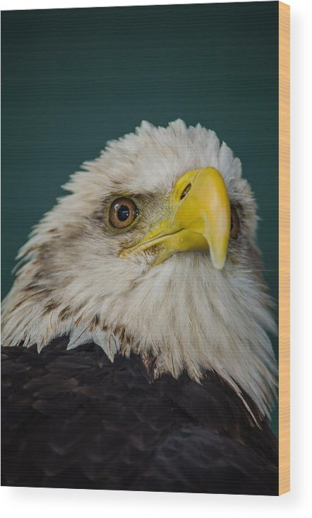 Bald Wood Print featuring the photograph Bald Eagle by Jeff Ortakales