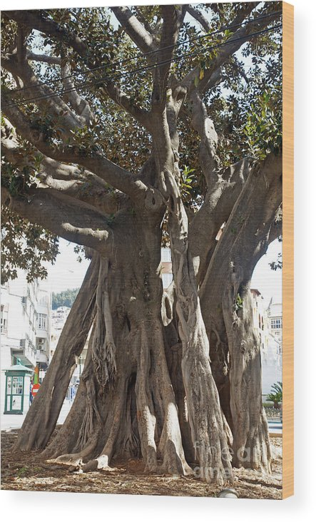 Spain Wood Print featuring the photograph Banyan Trees In Velez Malaga's Parque De Andalucia by Rod Jones