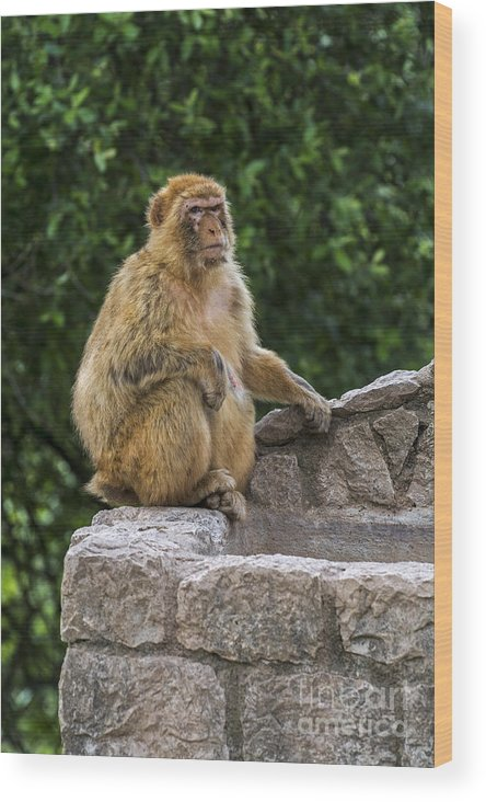 Barbary Macaque Wood Print featuring the photograph Barbary Macaque by Arterra Picture Library