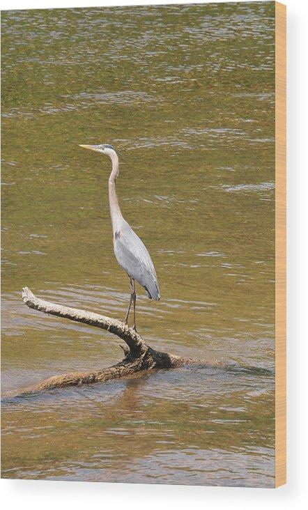 Blue Heron Wood Print featuring the photograph Blue Heron  by Daniel Nowak
