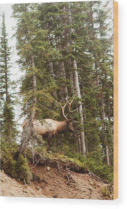 Colorado Wood Print featuring the photograph Bull Elk Stands Guard by D Scott Clark
