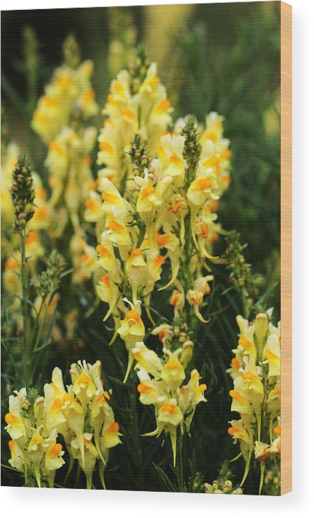 Flower Wood Print featuring the photograph Butter And Eggs by TL Mair