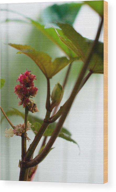 Plant Wood Print featuring the photograph Castor Oil Plant Ricinus Communis by Frank Gaertner