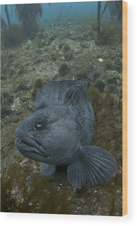 Catfish Wood Print featuring the photograph Catfish. by Erlendur Gudmundsson