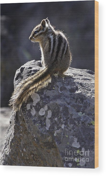 Chipmunk Wood Print featuring the photograph Chipmunk  #2152 by J L Woody Wooden