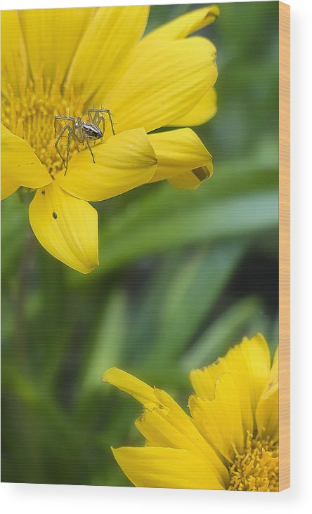 Flowers Wood Print featuring the photograph Chrome Spider 01 by Kevin Chippindall