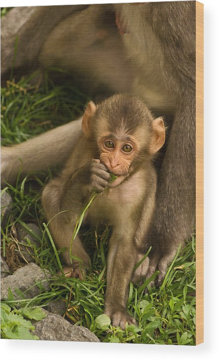 Snow Monkey Wood Print featuring the photograph Close To Mom by Theo OConnor